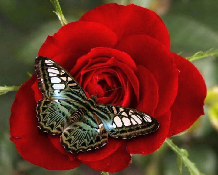 Змеи гадюки, открытка бабочка на розе