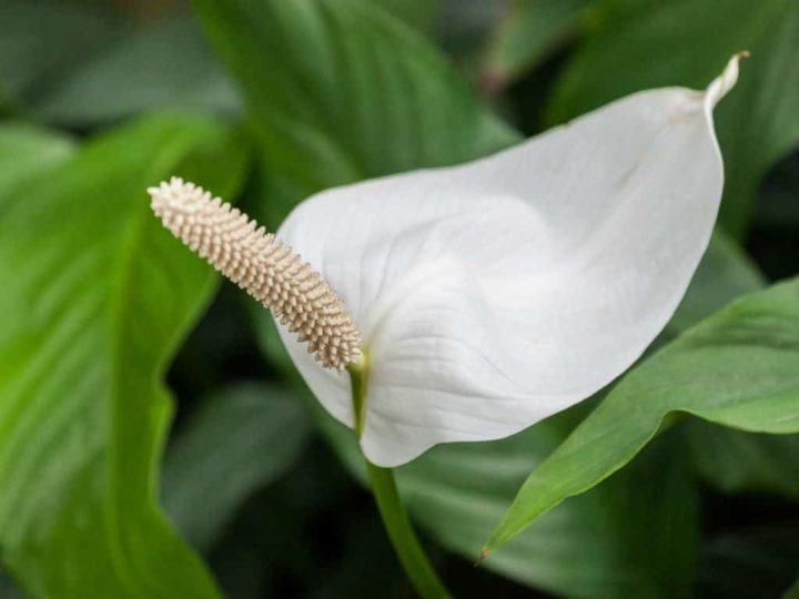 Спатифиллум домашний: как ухаживать за растением правильно